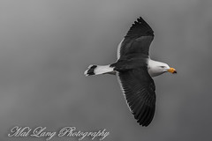 Storm Bird (Malcom Lang) Tags: storm winter weather rain cold freezing bird pacific gull larus pacificus flying wings beak black white cloud southaustralia southern south southernaustralia southerneyrepeninsula southernocean lincoln lincolnnationalparksouthaustralia lincolnnationalpark australia australian aussie ilovenature natural native nature national canoneos6d canon canon6d canonef canon100400 canon100400ef 100400mm mal lang photography