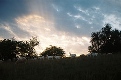 The Goat is the Boss (Toffee Maky) Tags: toffee analog analogue analogslr slr 35mm film pentaxk1000 smcpentaxazoom135453570mm kodakfilms kodakcolorplus200 jinonice prague summer sun sunset nature czechcountryside goats sheep explore