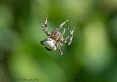 Marbled Orb-weaver. explored:) (ian._harris) Tags: spider orb d750 macro sigma nikon explore