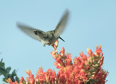 Anna's Hummingbird -- Female (Calypte anna); Catalina, AZ [Lou Feltz] (deserttoad) Tags: animal bird wildbird tree ocatillo flower bloom arizona hummingbird flight nature
