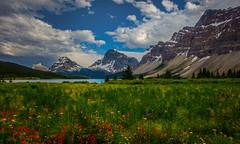 The field of lost keys (jenni 101) Tags: alberta bowlake canada canadianrockies mountains nikond7200 wildflowers