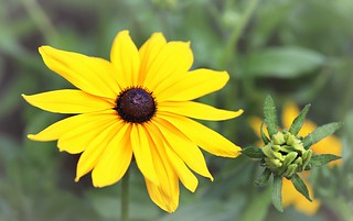 Rudbeckia hirta ''Indian Summer''
