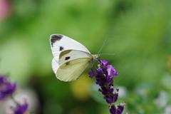 Grosser Kohlweißling (Aah-Yeah) Tags: grosser kohlweisling kohlweissling large white pieris brassicae schmetterling butterfly tagfalter marquartstein achental chiemgau bayern