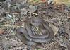 Grass Snake (Crowcombe Al) Tags: grasssnake snake compostbin