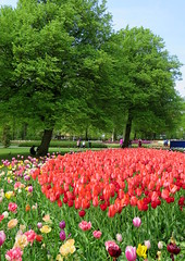 Amsterdam-May'17 (64) (Silvia Inacio) Tags: amsterdam amesterdão holanda holland thenetherlands tree árvore tulipa tulip flowers flores keukenhof lisse garden jardim park parque
