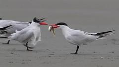 Caspian Tern Family Behavior (Mick Thompson1) Tags: