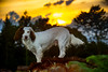 Rupert enjoying an evening walk. (TrevKerr) Tags: nikon d3s nikonsb900 dog dordogne france dogportrait