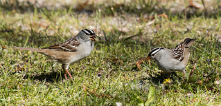 IMG_1463  White-crowned Sparrow