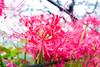 _DSC2161 (sayo-tsu) Tags: lycoris 彼岸花 曼珠沙華 saitama sattecity gongendopark 権現堂 ヒガンバナ