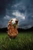 proudly defiant (Marm O. Set) Tags: canon 7d canon7d efs1018 10mm f11 strobist studio strobe strobes flash flashes lighting boom outside moody gloomy softbox offcameraflash offcamera ocf yongnuo yongnuoyn560iii yongnuoyn560tx pet petportrait dog dogportrait doxie dachshund weinerdog wideangle transceivers transmitter