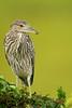 Juvenile Black Crowned Night Heron (Mark Schwall) Tags: juvenile wildlife markschwallphotographycom d500 nikon newjersey nj southernnewjersey wadingbird heronry rookery bird blackcrownednightheron nycticoraxnycticorax nikkor600mmf4ais manualfocus