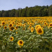 Sunflowers 5: The Field (Anvilcloud) Tags: lanarkcounty mississippimills sunflowers blakeney explored