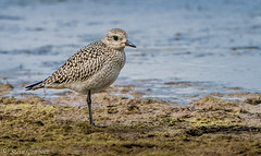 Grey Plover at Kilnsea Wetlands near Spurn Point. (steve.gombocz) Tags: outdoor animal out outandabout nature wildlife wildlifewatch naturewatch wildlifereserve naturereserve wildlifephotos naturephotos wildlifephotography naturephotography wildlifephotographs naturephotographs wildlifepictures naturepictures summerwatch bbcsummerwatch tier animale flickrwildlife flickrnature wildbritain britishwildlife britishnature wildlifeuk yorkshirewildlife yorkshirenature rspb bird birds ukbird greyplover plover birdwatch birdwatcher birdwatching naturewildlife uknatureandwildlife flickrbirds birdphotos birdpictures birdsightings explorewildlife explorenature explorebirds exploreflickr birdphotography birdphotographs colour colours color colourmania avian uccello oiseau vogel ave pajaro flickraddicts water nikon nikonusers nikond810 nikoneurope nikoncamera nikon500mmf28 nikonfx wetlands kilnseawetlands spurnpoint