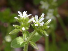 オランダミミナグサ (nofrills) Tags: white whiteflowers whiteandgreen green weed weeds tiny roadside オランダミミナグサ chickweed