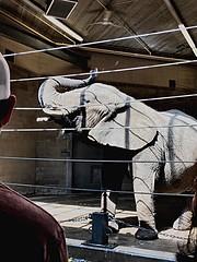 Gentle Giant (Scorpiol13) Tags: floppyears coarseskin texture wrinkles gray trunk captivity mammal animal large majestic zoo elephant