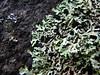 Heterodermia japonica (davidgenneygroups) Tags: uk scotland lichen heterodermiajaponica heterodermia japonica foliose corticolous