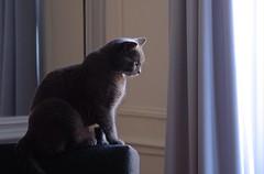Chat de salon sauvage - Wild house cat (Max Sat) Tags: bleu blue cat chartreux chat eye fuji fujixe1 fujinon grey gris light lumière maxsat maxwellsaturnin neko oeil xe1 xf60 unexplored