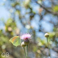 Citron de provence (Olivier Brosseau) Tags: papillon citron centaurée