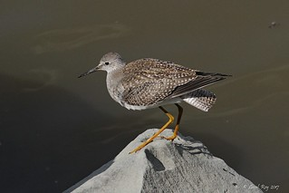 1.03668 Petit Chevalier / Tringa flavipes / Lesser Yellowlegs