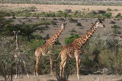 20170618_3910_Masai Mara_Girafe Masai (fstoger) Tags: kenya masaimara viesauvage wildlife safari girafe girafemasai masaigiraffe afrique africa