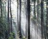 box wood (Stuart Nice) Tags: misty mist forest wood tree trees sun light morning shards