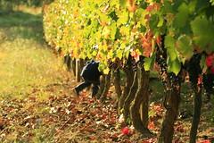 Sous les nuages verts (Weblody) Tags: vendange raisin vin vigneron tardive novembre enfant jouer