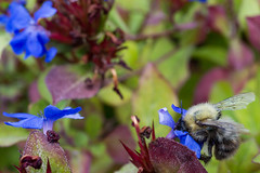 Collecting Pollen From Flowers (A Guy Taking Pictures) Tags: bee flower summer a6000 sony insect collecting pollen from flowers blue green purple