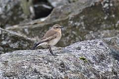 Wheatear on the rocks (Robin M Morrison) Tags: wheatear crowdy reservoir cornwall rocks