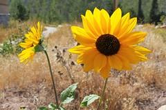 Bear Lake Valley wildflower (Ginny Winblad) Tags: bearlakevalley wildflower