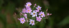 Little Bouquet (Adrian Gimpel) Tags: wildflower perth westernaustralia kingspark dof