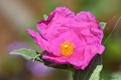 Crumpled Pink Tissue Paper (Eleanor (No multiple invites please)) Tags: cistus shrub pinkflower garden web stanmore uk nikond7200 105mmmacrolens august2017