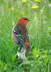 pine grosbeak 2