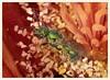 Sweat Bee in Barrel Cactus Flower (gauchocat) Tags: metallicgreenbee pimacountyarizona