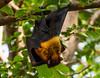 Indian Flying Fox (mshubhajyoti) Tags: shubhajyotimohapatra shubhajyotiphotography bat mammals ngc fantasticwildlife wow iitkanpur nikonian nikond5200 naturewatcher indianflyingfox
