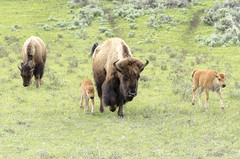 Bison Calves (rschnaible) Tags: yellowstone national park us usa wyoming animal wild wildlife outdoor spotting bison meadow calves lamar valley landscape