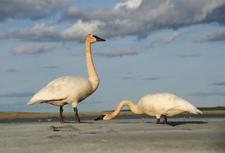 Cygnes trompette- Trumpeter Swan