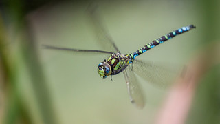 hoovering dragonfly