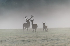 Meet the Family (George Plakides) Tags: richmondpark london deer stag family mist antlers