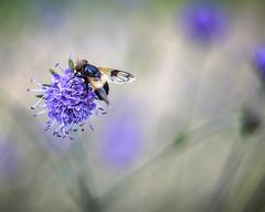 Life's Simple Pleasures (Fourteenfoottiger) Tags: leucozonalucorum hoverfly wings flyinginsect insect flower pollen nature bokeh manualfocus manual swirly swirlybokeh hazy blur plants blossom feeding helios44m