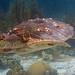 Bonaire 08.08.2017 - 060 loggerhead turtle