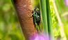 Cicada (Black Hound) Tags: sony a500 minolta bug insect cicada russellwpetersonurbanwildliferefuge delaware
