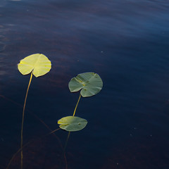 Trois ... (sosivov) Tags: sweden squareformat square water lake leaves waterlily