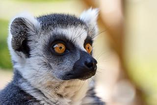 prstenastorepi lemur (Lemur catta / Ring-tailed Lemur / Katta)
