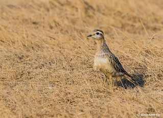 Borrelho-ruivo | Eurasian Dotterel | Chorlito carambolo | Pluvier guignard (Charadrius morinellus)