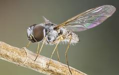 Bombyliidae.  Stomylomyia sp (dorolpi) Tags: