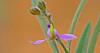 CAE006021a (jerryoldenettel) Tags: 170917 2017 darkmilkwort fabales grantco nm polygala polygalaobscura polygalaceae rosids velvetseedmilkwort velvetseedmilkwortatblackhawkcanyon wildflower flower milkwort