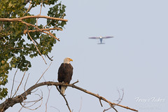 Bald Eagle photobombing my picture of a plane