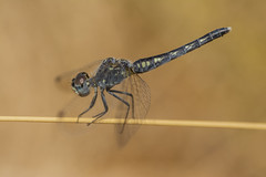 On the tightrope (jrosvic) Tags: dragonfly