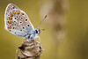 Plebejus argus? (stmlphoto) Tags: blue silver plebejusargus insect macro butterfly