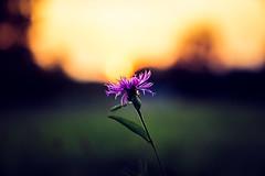 Goodbye Horses (der_peste) Tags: flower bokeh sunset sundown blur dof shallowdepthoffield nature backlight backlit